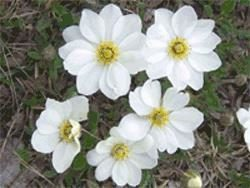 Younger Dryas flowers