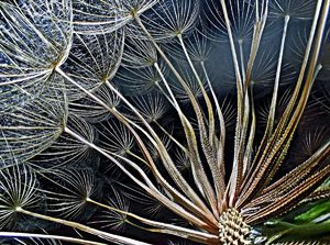 goatsbeard-flower-seeds Nikon Small World
